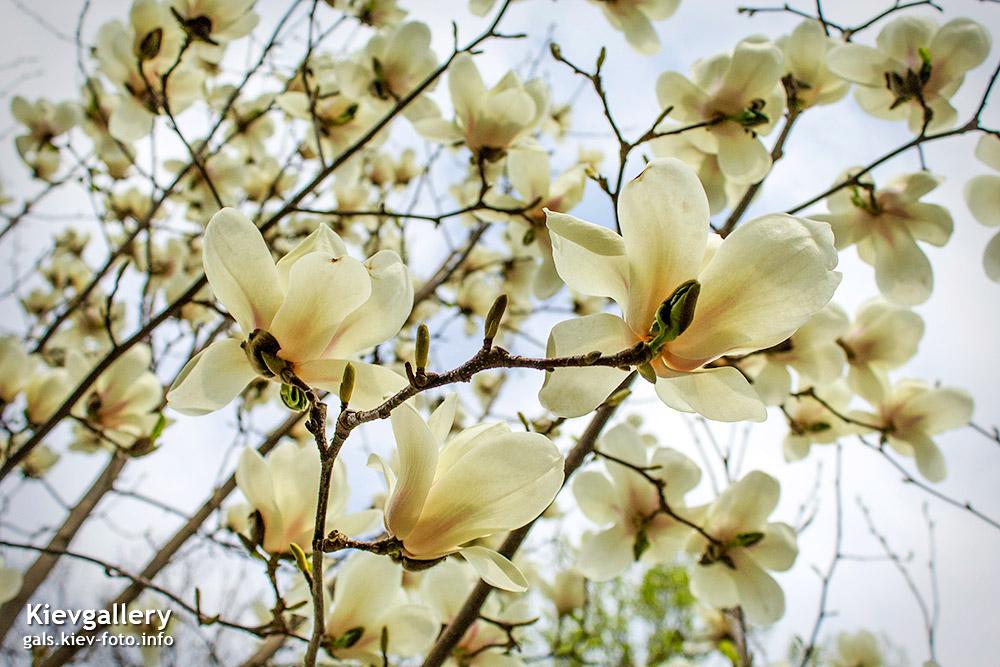 Белые магнолии в старом ботсаду - White magnolias in the old Botanical Garden