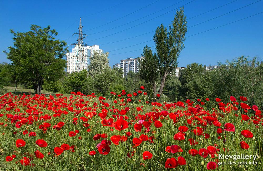 Красные маки на Петровке - Red poppies on Petrovka
