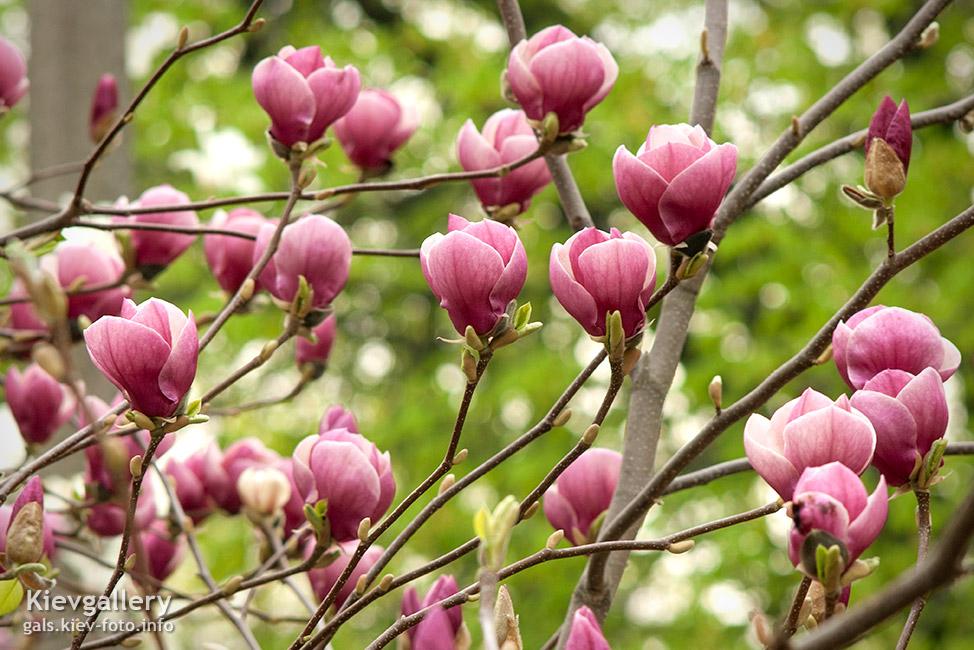 Пурпурные магнолии - Purple magnolias