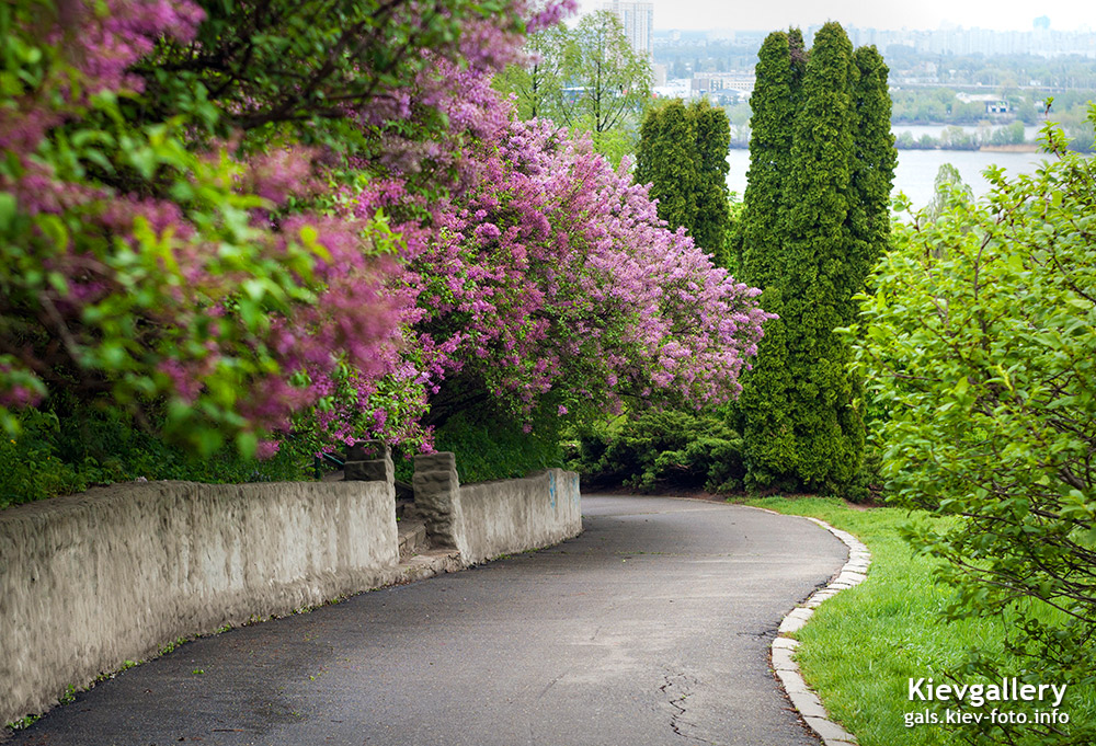 Сирень над дорогой. Lilac over the road