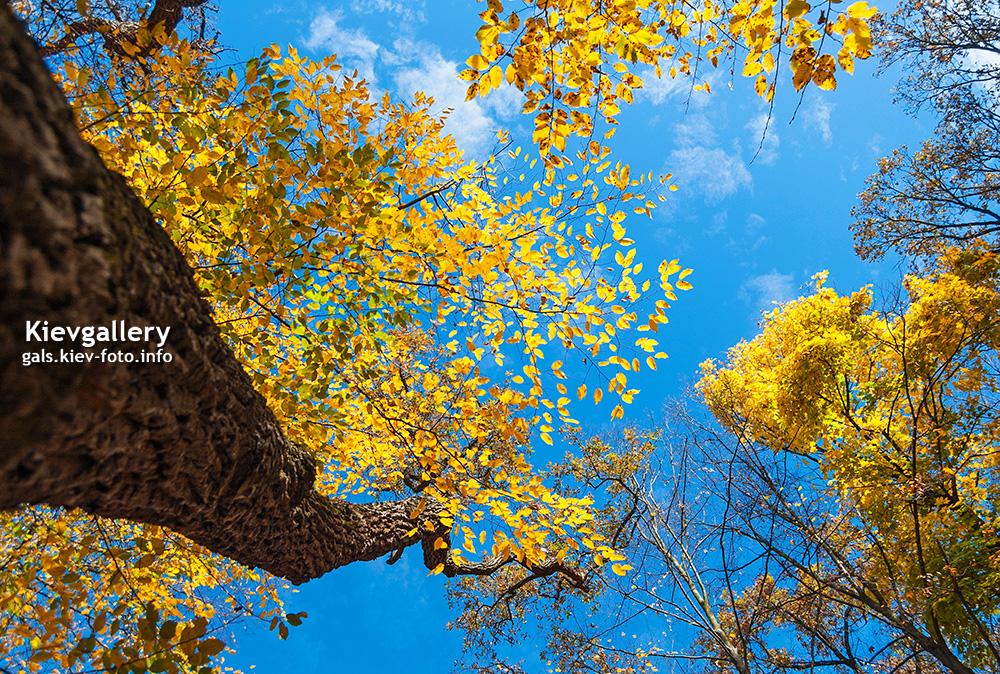Желтые кроны под голубым небом. Yellow crone under the blue sky