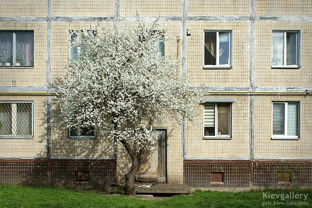 Цветущий абрикос на Оболони. Flowering apricot in Obolon