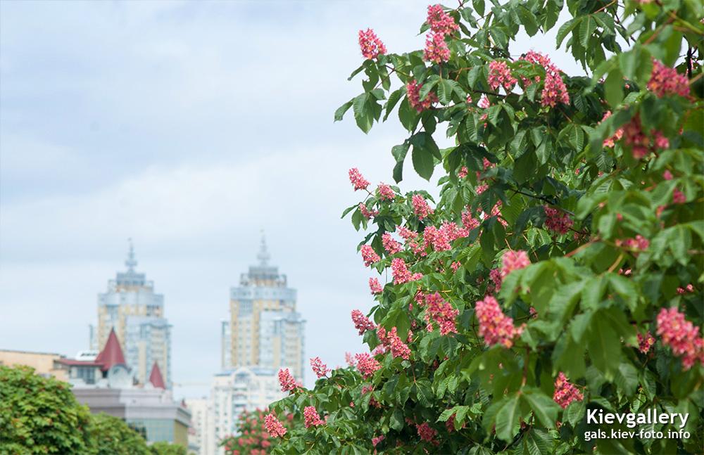 Красные каштаны на Оболони. Red Chestnuts in Obolon