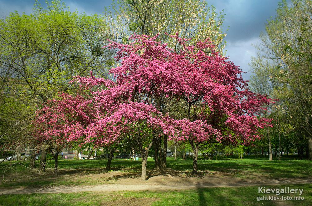 Цветение райской яблони. Flowering paradise apple