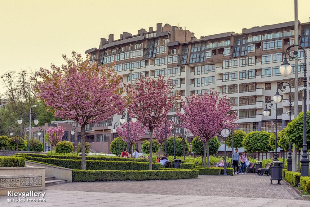 Сакура в парке Г. Алиева в Киеве