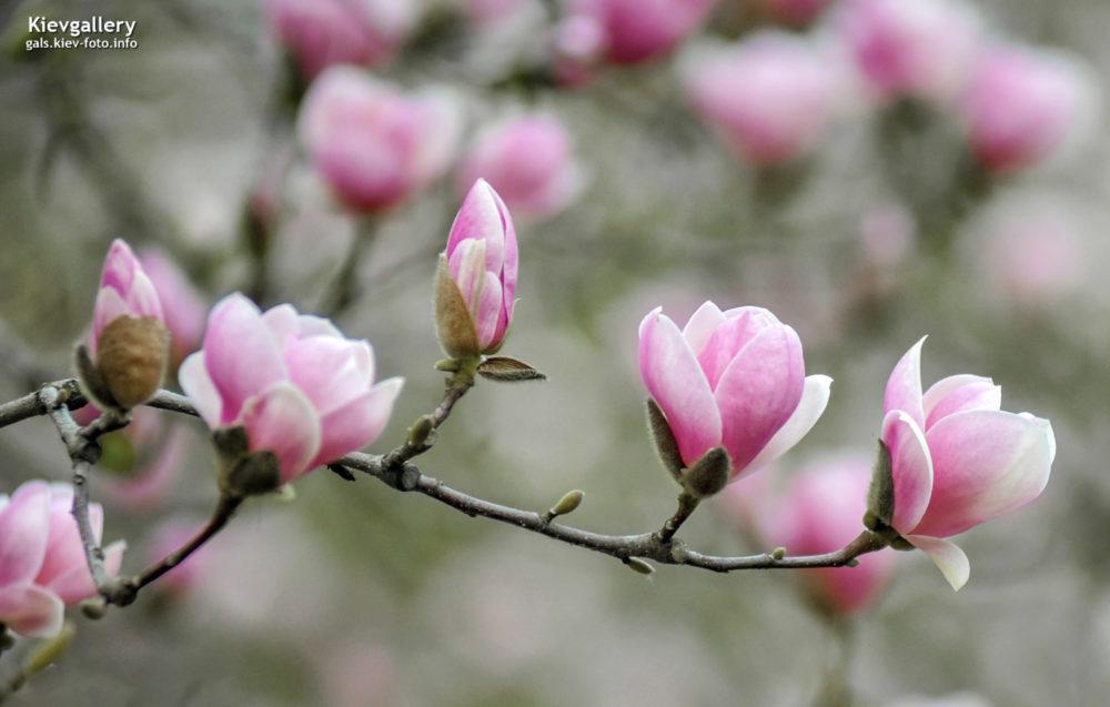 Цветение розовых магнолий в ботсаду Фомина
