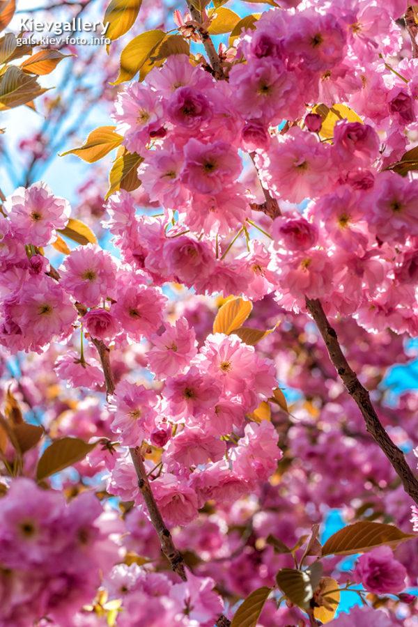 Цветение сакуры в ботсаду им. Н. Гришка