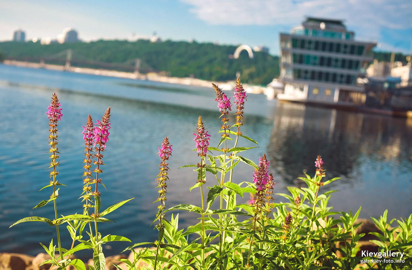 Розовые цветы на Подольской набережной