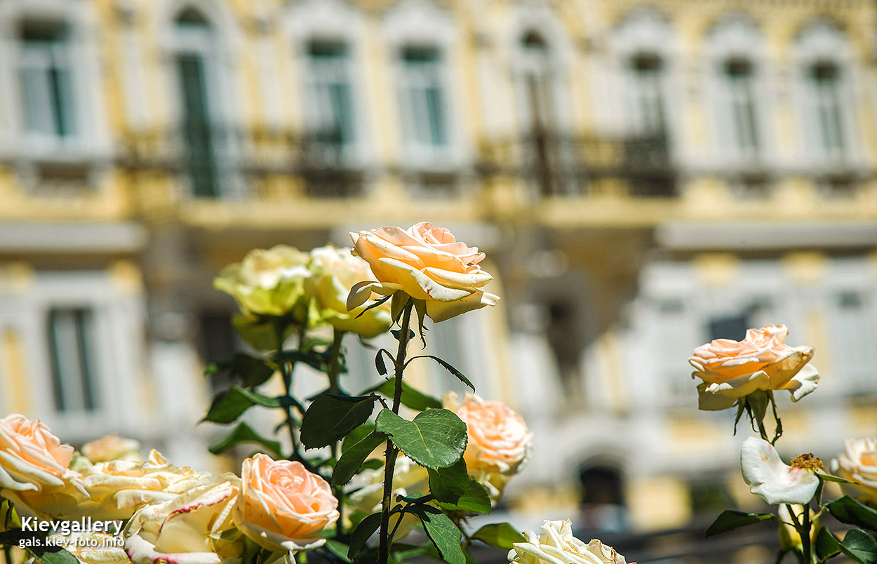 Розы на Воздвиженке