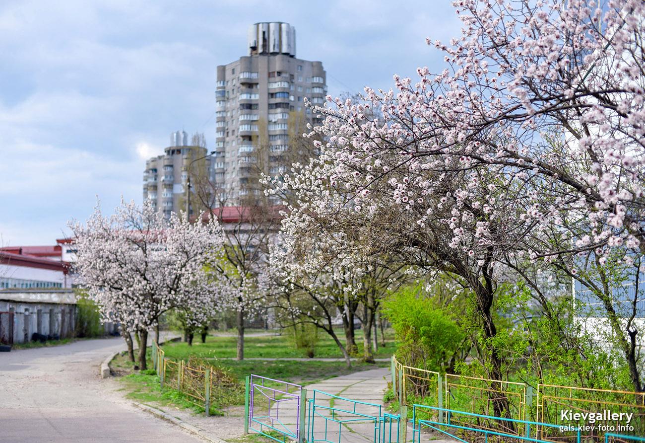 Цветущая в абрикосах Оболонь