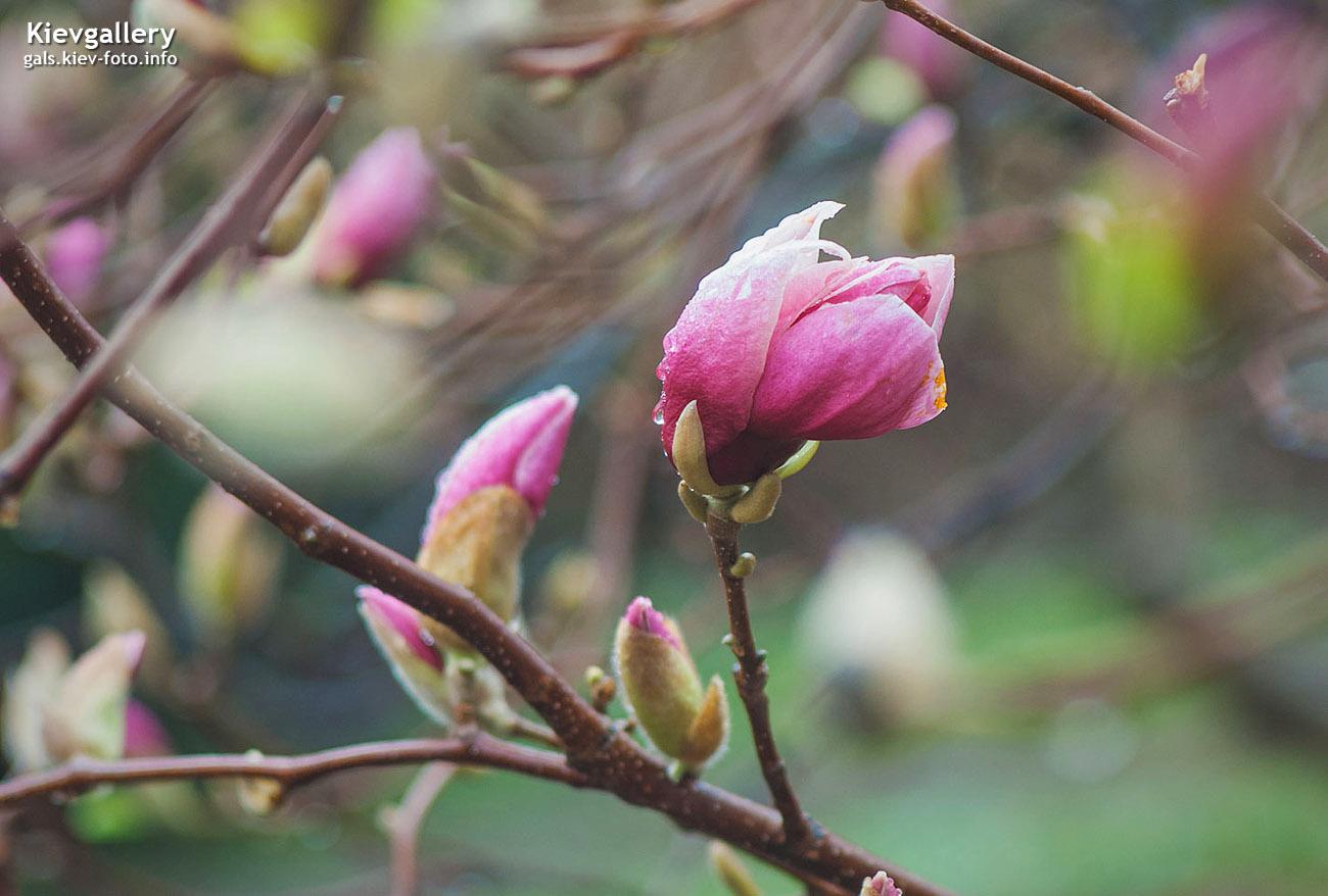 Дождь и розовые магнолии в Киеве