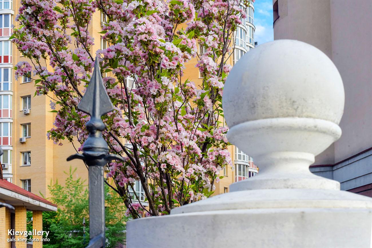 Цветущая сакура на Оболонской набережной